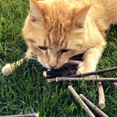 10 Aumüller Silver Vine Cat Sticks