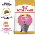 Royal Canin Kitten British Shorthair pour chaton