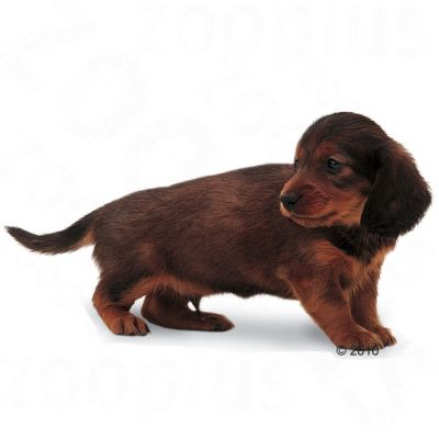 Royal Canin Dachshund Junior