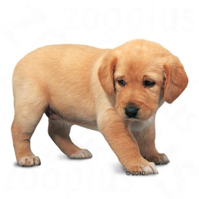 Royal Canin Labrador Retriever Junior/Puppy