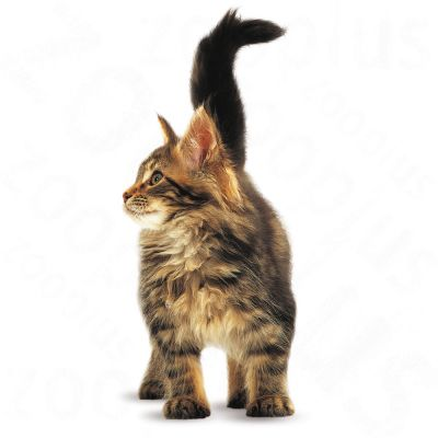 ... Royal Canin Maine Coon Kitten ...