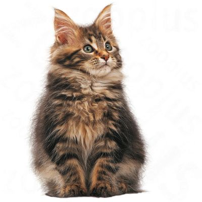 ... Royal Canin Maine Coon Kitten