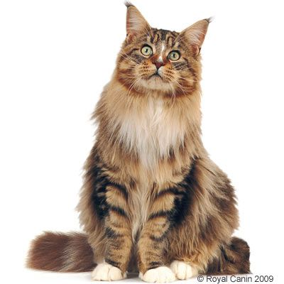 Royal Canin Maine Coon 31 ...